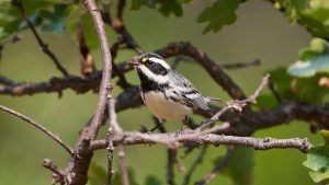 Black-Throated Gray Warbler, photo by Frank Lospalluto